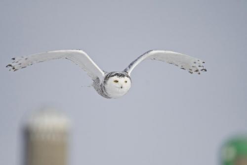 A female snowy owl in flight