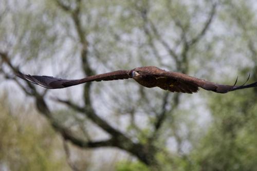 Eaglet flying back to nest
