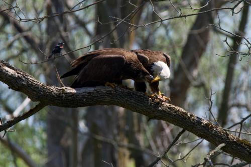 Adult bald eagle feeding eaglet
