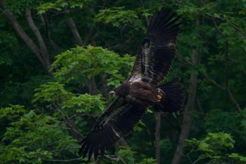 Eaglet showing off her improving flight skills