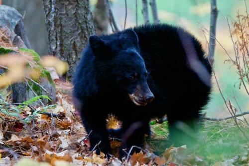 An orphaned black bear cub foraging near my camp site in Killarney Provincial Park