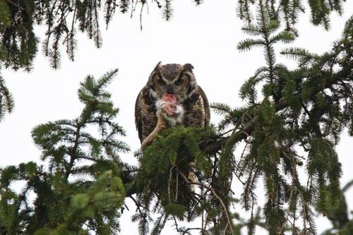 Great Horned Owl returning with food for his young