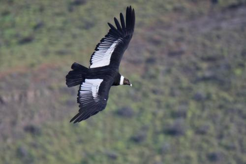 An adult female Andean Condor