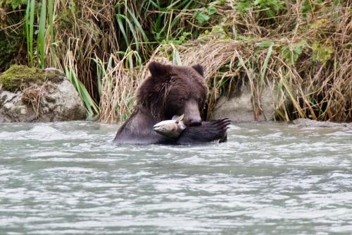 Brown bear with one of dozens of salmon he caught