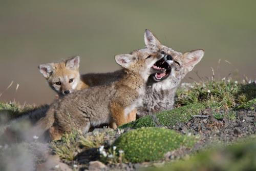 A female Patagonian Grey Fox with her two kits