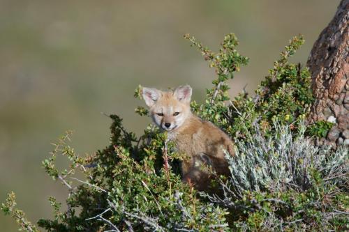 A Patagonian Grey Fox kits