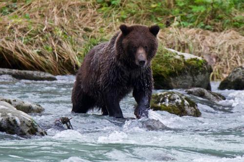 Alaskan brown bear fishing near Haines, Alaska