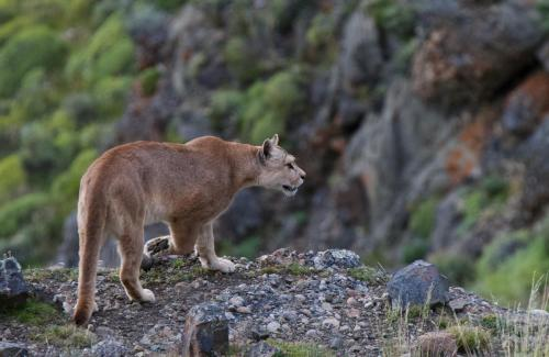 An adult female puma on a cliff face