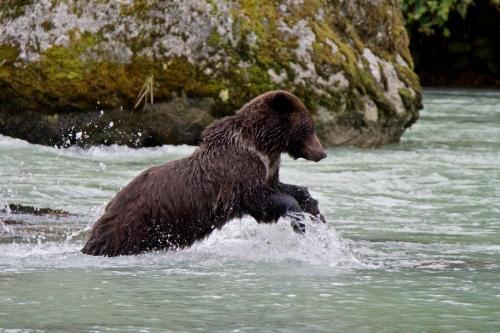 Brown bear chasing salmon