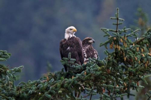 An adult and an immature bald eagle surveying the water in Haines, Alaska