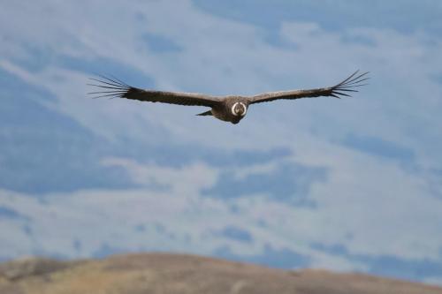 A juvenile male condor cruising through a valley near Torres Del Paine