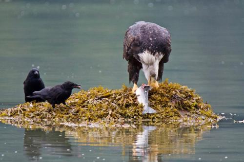 A bald eagle dining on a salmon near Haines, Alaska as two crows await their turn