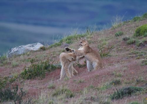 A pair of puma cubs playing