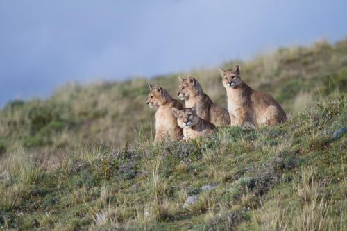 A mother puma with three cubs