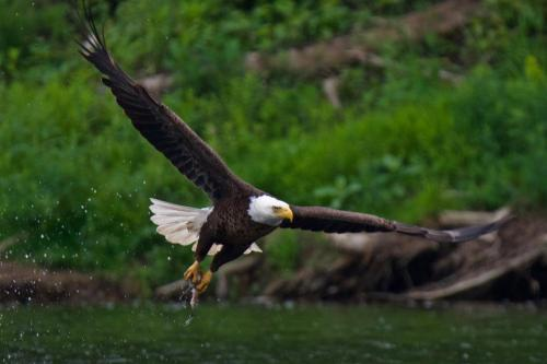 A successful catch by a bald eagle in Brantford, Ontario