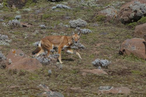 An Ethiopian wolf in the Bale Mountains